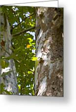 American Sycamore Greeting Card