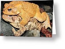 American Toads  Greeting Card