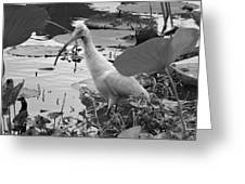 American White Ibis Black And White Greeting Card