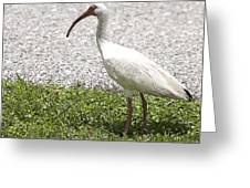 American White Ibis Poster Look Greeting Card