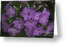 Amethyst Phlox Greeting Card