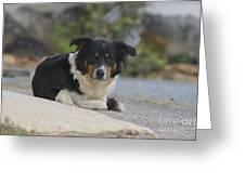 Amish Dog Greeting Card
