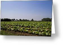 Amish Tobacco Fields Greeting Card