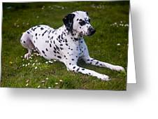 Among The Daisies. Kokkie. Dalmation Dog Greeting Card