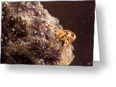 Amphipod On Botryllus Greeting Card