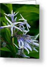 Amsonia Blue Stars Greeting Card