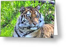 Amur Tiger 6 Greeting Card by Jimmy Ostgard