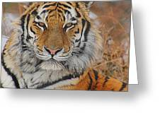 Amur Tiger Magnificence Greeting Card