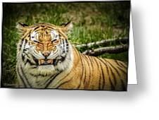 Amur Tiger Smile Greeting Card