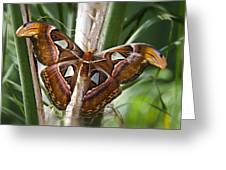 An Atlas Moth  Greeting Card