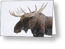 An Elk Cervus Canadensis With Snow Greeting Card