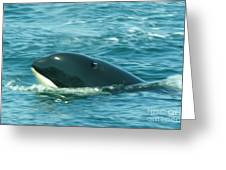 An Orca Surfaces  Greeting Card