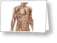 Anatomy Of Human Abdominal Muscles Greeting Card
