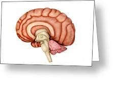 Anatomy Of Human Brain, Side View Greeting Card