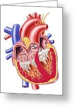 Anatomy Of Human Heart, Cross Section Greeting Card