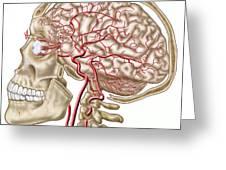 Anatomy Of Human Skull, Eyeball Greeting Card by Stocktrek Images