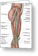 Anatomy Of Human Thigh Muscles Greeting Card