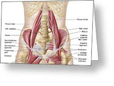 Anatomy Of Iliopsoa, Also Known Greeting Card