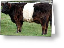 Ancient Breed Belted Galloway Greeting Card