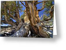 Ancient Bristlecone Greeting Card