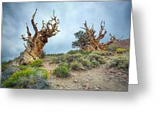 Ancient Bristlecone Pine Trees Greeting Card