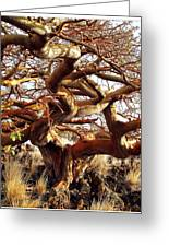 Ancient Wiliwili Tree Greeting Card
