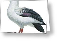 Andean Goose Greeting Card