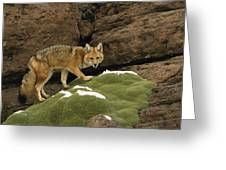 Andean Red Fox Altiplano Bolivia Greeting Card