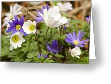 Anemone Blanda Greeting Card