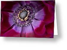 Anemone Coronaria  Macro Greeting Card