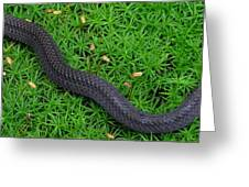 Anerythristic Red Belly Snake Greeting Card