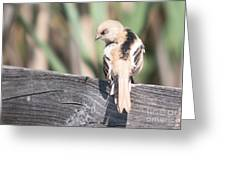 Angry Bird Bearded Reedling Juvenile Greeting Card