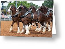 Anheuser Busch Budweiser Clydesdale Horses In Harness Usa Rodeo Greeting Card