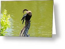 Anhinga Grooming Feathers Greeting Card