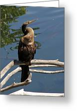Anhinga Immature Greeting Card
