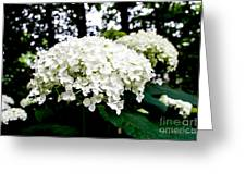 Annabelle Hydrangea Blossoms Greeting Card