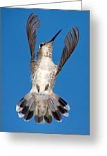 Anna's Hummingbird Tail Display Greeting Card
