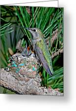 Annas Hummingbird With Young Greeting Card