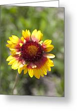 Annual Coreopsis Greeting Card