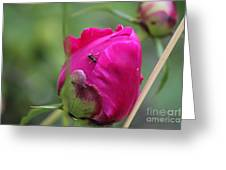 Ant On Peony Greeting Card