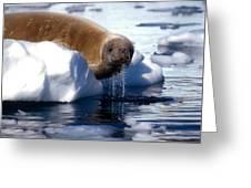 Antarctic Crabeater Seal Greeting Card