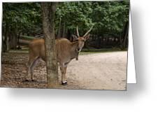 Antelope Behind A Tree Greeting Card