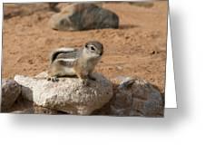 Antelope Ground Squirrel Greeting Card