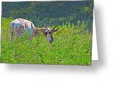 Antelope Near Wildlife Loop Road In Custer State Park-south Dakota- Greeting Card