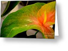 Anthurium In Red And Green Greeting Card