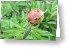 Ants On A Peonies Greeting Card