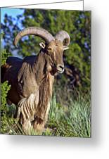 Aoudad Sheep  Greeting Card
