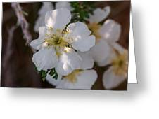 Apache Plume Flowers In Spring Greeting Card