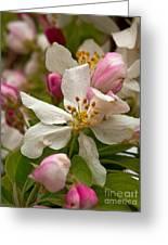 Apple Blooms Greeting Card