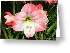 Apple Blossom Amaryllis  Greeting Card